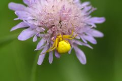 Goldenrod kraba pająk lub kwiatu kraba pająk Zdjęcie Stock