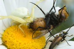 Goldenrod kraba pająk, Misumena vatia karmienie na złapanej komarnicie Fotografia Royalty Free