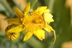 Goldenrod kraba pająk na żółtym kwiacie (Misumena vatia) Obraz Royalty Free