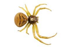 Goldenrod kraba pająka gatunków Misumena vatia Zdjęcia Stock