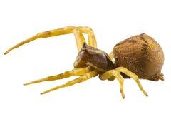 Goldenrod kraba pająka gatunków Misumena vatia Obraz Royalty Free
