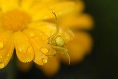 Goldenrod krabspin Stock Foto's