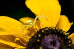 Goldenrod Krabspin stock foto