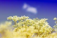 Goldenrod kwiat miękkiej części styl w pastelowym brzmieniu Zdjęcie Royalty Free