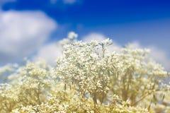 Goldenrod kwiat miękkiej części styl w pastelowym brzmieniu Zdjęcie Stock