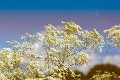 Goldenrod kwiat miękkiej części styl w pastelowym brzmieniu Zdjęcia Royalty Free
