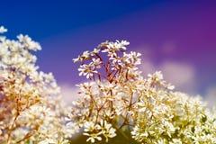 Goldenrod kwiat miękkiej części styl w pastelowym brzmieniu Obraz Stock