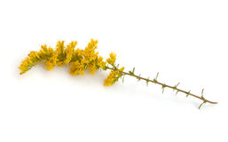 Goldenrod Royalty Free Stock Photo