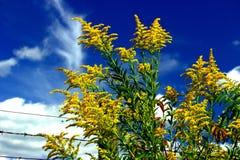 Goldenrod, niebieskie nieba Fotografia Stock