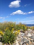 Goldenrod by the ocean Stock Images
