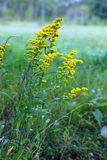 Goldenrod på blom Arkivbilder
