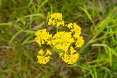 Goldenrod panicle цветка как зацветая сезон Естественным фокус выбранный макросом стоковые изображения rf