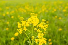 Goldenrod panicle цветка как зацветая сезон Естественным фокус выбранный макросом стоковая фотография