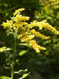 Goldenrod Plant in Sun Royalty Free Stock Images