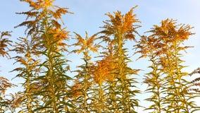 Goldenrod plants Stock Photos