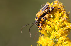 Goldenrod Soldier Beetle Stock Photos