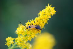Goldenrod Soldier Beetle. A goldenrod soldier beetle, also called Pennsylvania leatherwing, Chauliognathus pensylvanicus, on goldenrod flowers Stock Photo