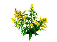 Goldenrod (Solidago) Royalty Free Stock Photo