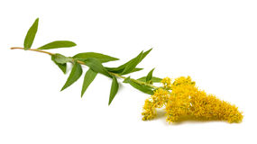 Goldenrod Solidago gigantea Stock Photography