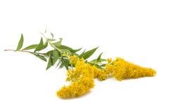 Goldenrod Solidago gigantea. Goldenrods Solidago gigantea flowers isolated on white Royalty Free Stock Images