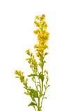 Goldenrod (Solidago virgaurea) flower Stock Photography