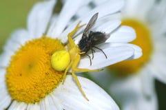 Goldenrod spider on daisy flower Stock Photo