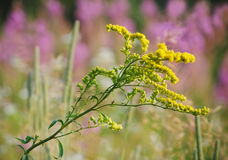Goldenrod. A sprig of goldenrod on a sunny summer day with out-of-focus purple flowers in the background Stock Photos