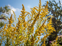 Goldenrod on a Sunny Day Royalty Free Stock Photos