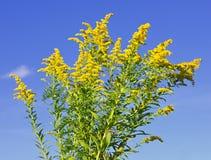 goldenrod växt Royaltyfri Bild
