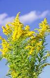 goldenrod växt arkivfoto