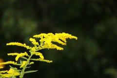 Goldenrod. Wild Goldenrod (Solidago) blooming along the Blue Ridge Parkway in South Carolina, USA stock image