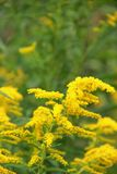 Goldenrod. Wild Goldenrod (Solidago) blooming along the Blue Ridge Parkway in South Carolina, USA stock photography