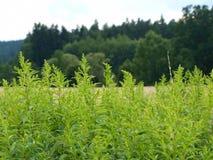 Goldenrodgräsplan, skog och äng i bakgrunden Arkivfoto