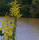 Goldenrods blooming at edge of river Stock Images