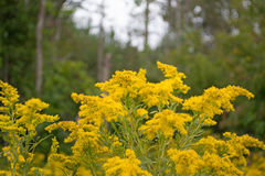Goldenrods In Conservation Area. Beautiful close-up of golden yellow goldenrods in meadow. This bright yellow wildflower grows in Ontario and is part of the Royalty Free Stock Images