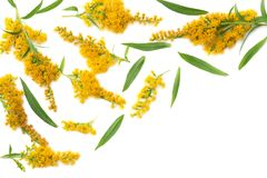 Goldenrods Solidago gigantea flowers isolated on white background. top view royalty free stock photos