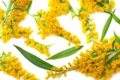 Goldenrods Solidago gigantea flowers isolated on white background. top view royalty free stock images