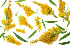 Goldenrods Solidago gigantea flowers isolated on white background. top view royalty free stock image