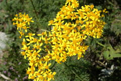 Goldenrods. In summer, solidago. Pyrenees Royalty Free Stock Photography