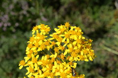 Goldenrods. In summer, solidago. Pyrenees Royalty Free Stock Images