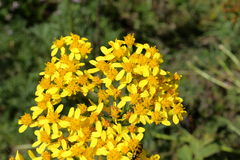 Goldenrods. In summer, solidago. Pyrenees Stock Image
