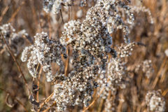 Goldenrods In Winter Close-Up. Golden rods outdoors in wintertime close-up Stock Photography