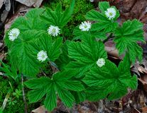 Goldenseal (黄连碱canadensis) 图库摄影