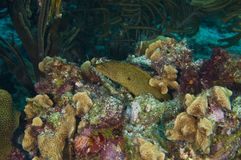 Goldentail moray Stock Photos