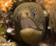 Goldentail Moray-Aal Lizenzfreie Stockfotos