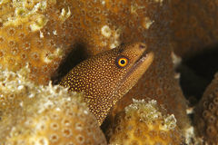 Goldentail Moray - Bonaire Royalty Free Stock Images