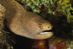 Goldentail Moray - Bonaire Stock Photos