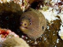 Goldentail Moray Eel Closeup Imágenes de archivo libres de regalías