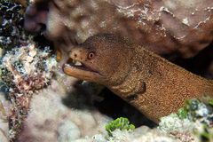 Goldentail moray eel Royalty Free Stock Images