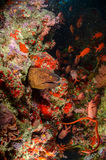 Goldentail. Moray eel  with soldierfish and lots of plancton Royalty Free Stock Images